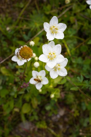 Commonly marsh Grass-of-Parnassus in the Carpathian mountain.