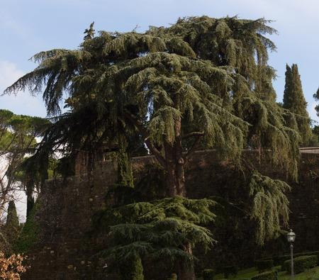 Cedar of Lebanon tree against blue sky. Cedrus in Italy