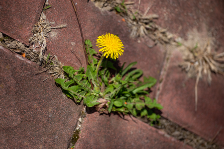 photo shows some weeds growing on a courtyard dandelion and grass