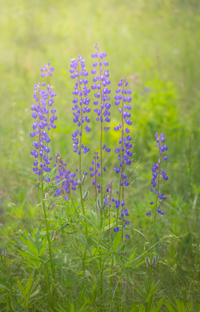Lupinus field with pink purple and blue flowers. Bunch of lupines summer flower background and sunlight