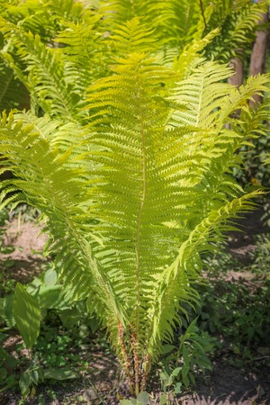 Natural green young ostrich fern or shuttlecock fern leaves Matteuccia struthiopteris on each other, the pantone color