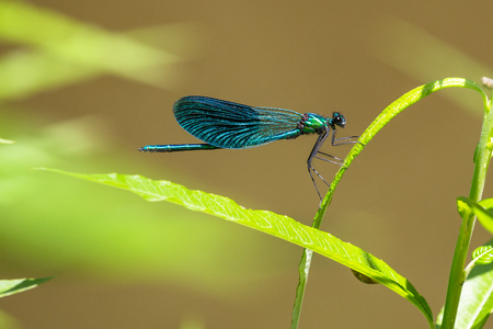Rare beautiful demoiselle , Calopteryx virgo. Listed in Bern convention insect. Male.