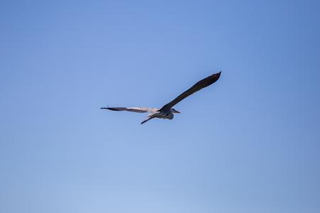 Grey Heron Ardea cinerea in flight, Vinnitsa region, Ukraine.