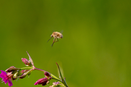 Rare forest insect with a long proboscis flies on a flower to pollinate it. Bombylius sp. Stock Photo