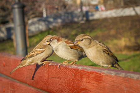 House sparrow sitting outside. Urban birds. Tree sparrow Stock Photo