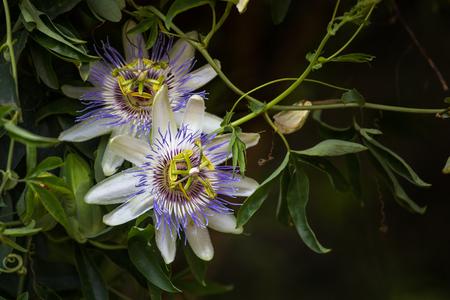 Macro photo of alient exotic flower Passiflora incarnata in botanical garden Stock Photo