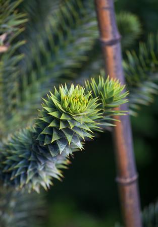 Araucaria araucana called the monkey puzzle tree, monkey tail tree, has a bautiful shape. Imagens