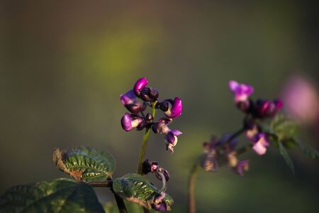 Violet beans flowering in the garden. French beans, string beans with flowers. Stockfoto