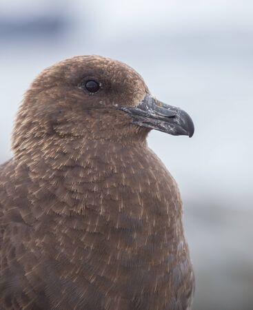 Portrait of brown skua, Stercorarius antarcticus , also known as the Antarctic skua in Petermann Island of the northwest coast of Kiev Peninsula in Graham Land, Argentine islands, Antarctica.