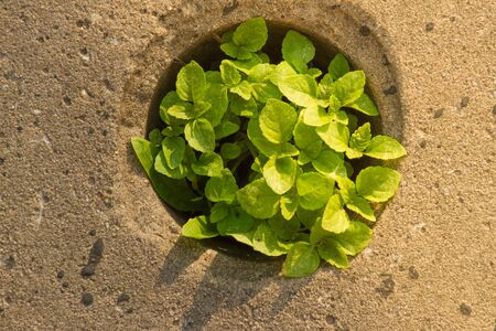 Weed growing in pavement in round hole. Victory wild plants. Motivation concept. Asphalt surface texture. Stockfoto
