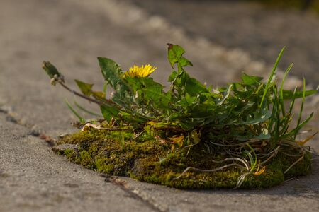 Weed dandelion growinf on the asphalt. Pavement grass. Biological control actions