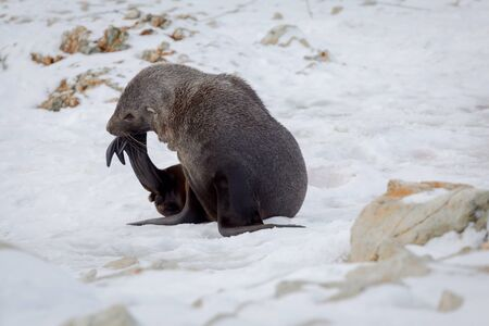 The Antarctic fur seal with opening mouth sitting on the snow, Argentine islands region, Galindez island, Antarctic.