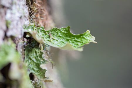 Lobaria pulmonaria, or oak lungwort rare lichens in the primary beech forest and growing on the bark old trees