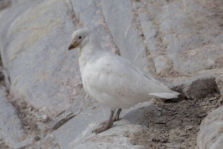 The snowy sheathbill Chionis albus , and also known as the greater sheathbill that lives mostly near penguins colonies.