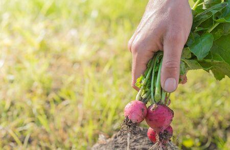 Man hands holding fresh red reddish in garden. Homegrown harvest. Gardening success.