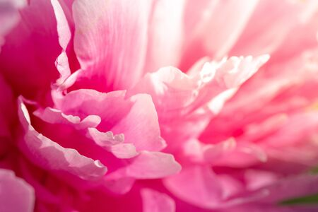 Peony petal background. Valentine s day, pink nature background. Banco de Imagens