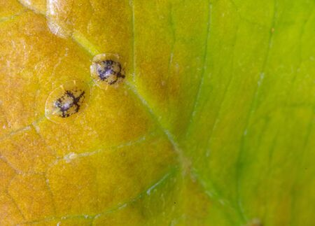 Macrophotography of Diaspididae insects on leaf vessel. Armored scale insects at home plants. Insects sucking plant. Infested.