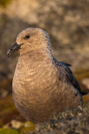 Portrait of south polar skua Stercorarius maccormicki in Antarctica. Antarctica bird Banco de Imagens