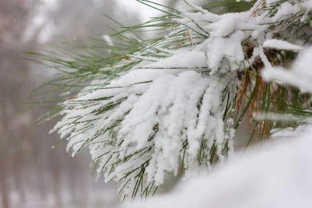 Fir winter braches. Pine cones under snow