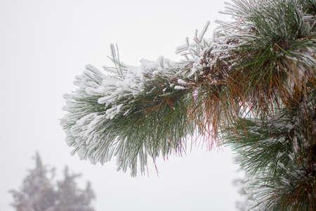 Fir winter braches. Evergreen pine snow covered Banco de Imagens