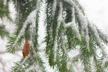Pseudotsuga also known as Douglas fir, Oregon pine, Columbian pine. Cones under snow. Winter.