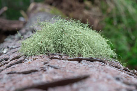 Usnea in Carpathian mountain. Sustainable clear ecosystem. Carpathian lichen