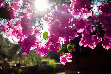 Pink Bougainvillea with sun rays in garden outside.