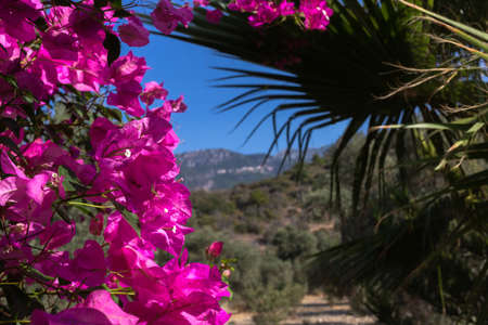 Pink bougenvilla with palm Trachycarpus on the mountain background in garden.