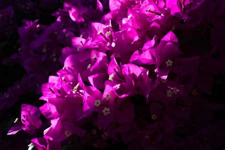 Pink bougenvilla background. Flowers background. Mediterranean plant.
