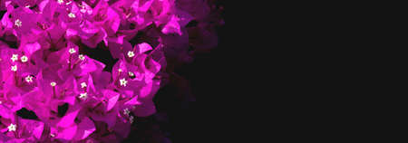 Pink Bougainvillea on black background with copy space. Banner, free space. Reklamní fotografie