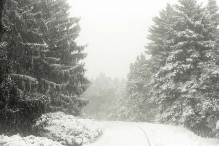 Snowy forest. Big storm in the forest. Fur spruce in snow.