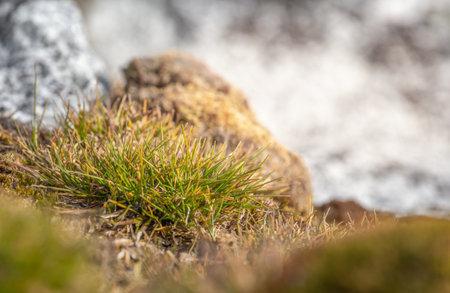 Macrophoto of Deschampsia antarctica, the Antarctic hair- grass, one of two flowering plants native to Antarctica