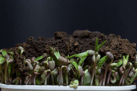 Microgreens isolated on black background. Microgreen bean growing sprouts time lapse. 4k, 25 fps. The mung bean Vigna radiata , alternatively known as the green gram, maash or moong dal. Reklamní fotografie