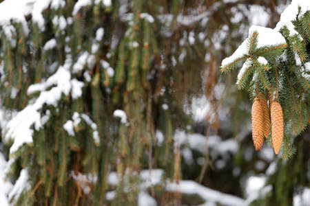 Cones of firtree covered with snow outdoor. Snow branch evergreen spruce tree.