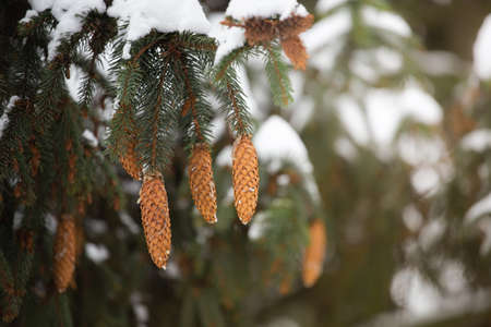 Cones of fir-tree covered with snow outdoor. Snow branch evergreen spruce tree. Light rays. Reklamní fotografie