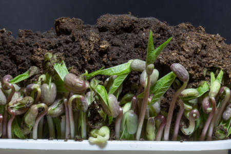 Microgreens isolated on black background. Sprouts growing of beans.