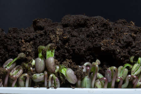 Microgreens isolated on black background. Sprouts growing of beans covered by soil.
