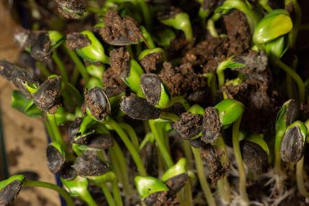 Macro photo of root, rhizoid of sunflower seeds.