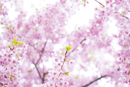 3 month: Cherry blossoms in full bloom
