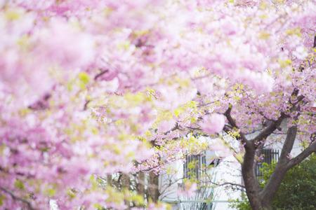 in bloom: Cherry full bloom
