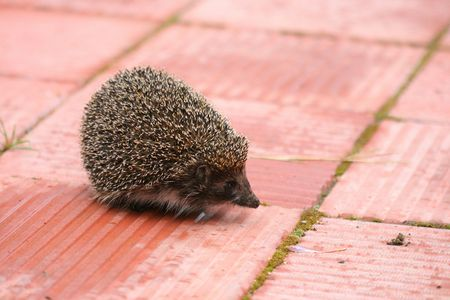 escapes: The hedgehog runs on stones was frightened and escapes
