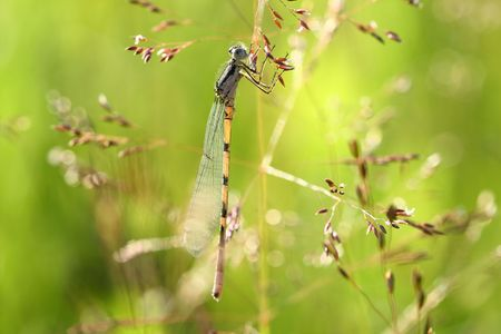zygoptera: The beautiful dragonfly sits in a grass and dries wings