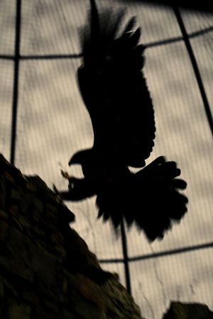 siluet: eagle fly wings up in zoo in zoo abstract siluet