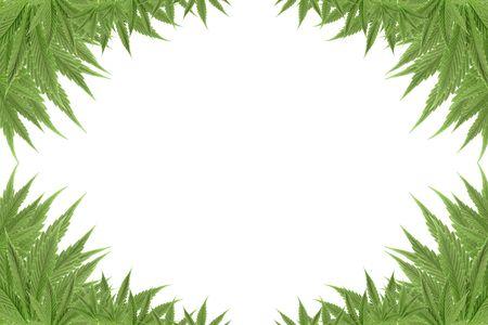 medicinal marijuana: marijuana cannabis background green textures