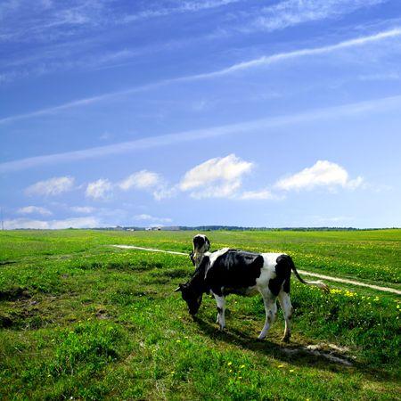 melker: koe op groene paarde bloem gebied onder de blauwe hemel