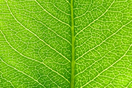 venation: green leaf beautiful nature background Stock Photo