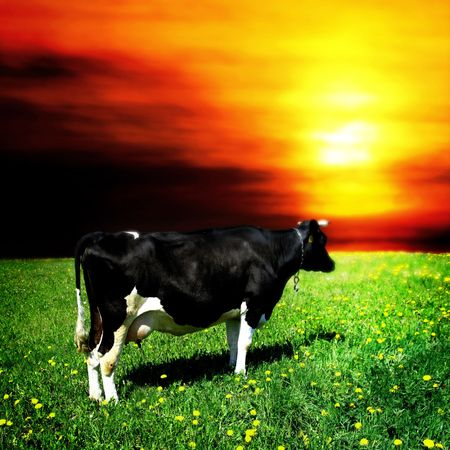 cow stay on dandelion field and say mooo photo