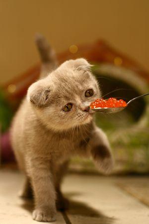 scottish fold Cat Gourmet like to eat Caviar Stock Photo - 3215780
