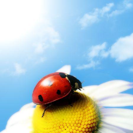red summer ladybug on camomile under blue sky Stock Photo - 3245940