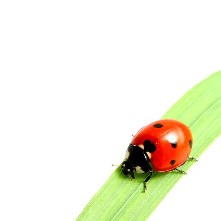 isolated red summer ladybug on green grass photo